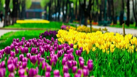Voyage en Ukraine. Un vrai royaume des tulipes dans le parc dendrologique de Kirovograd